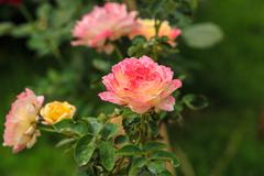 Multi-colored roses Stock Photos