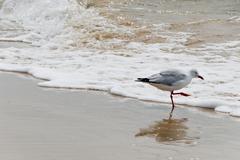 seagull at pacific ocean in lennox head in australia - stock photo