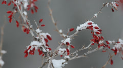 Crispino, Berberis vulgaris,   snow, snowfall, parco nazionale Gran Pa Stock Footage