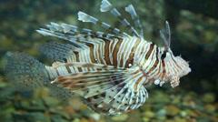 Lionfish zebrafish underwater Stock Footage