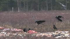 Many Ravens feeding on a carcass Stock Footage