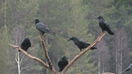 Stock Video Footage of Five Ravens sits in a tree