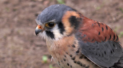 American kestrel (falco sparverius) closeup Stock Footage