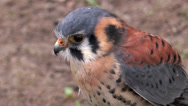 Stock Video Footage of american kestrel (falco sparverius) closeup