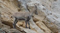 Ibex, Capra ibex, stambecco, boquetin, parco nazionale Gran Paradiso, Stock Footage