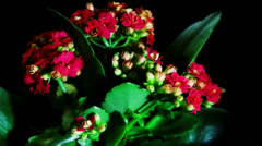 Opening kalanchoe flower Stock Footage