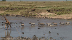 Giraffe leads zebras in crossing mara river Stock Footage