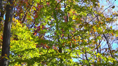 0645  Beautiful autumn colors in the forest - stock footage