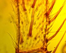 Spider (Araneae) pedipalp  - permanent slide plate under high magnification - stock photo