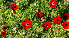 Flowers of Anemone on field, Israel. time lapse Stock Footage