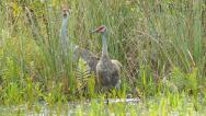 Stock Video Footage of Sandhill Crane Baby