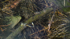 Damselfly is laying eggs underwater Stock Footage