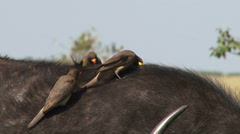 Yellow billed oxpecker grooming a buffalo Stock Footage