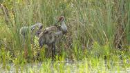 Stock Video Footage of Sandhill Crane