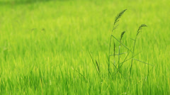 Spike of rice in the wind Stock Footage