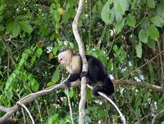 Baby capuchin monkey Stock Photos