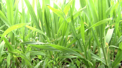 Green young wheat close up Stock Footage