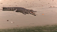 Australian Saltwater Crocodile sunbaking in the wild Stock Footage