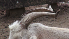 Goats, Farm Animals, Animal Horns Stock Footage