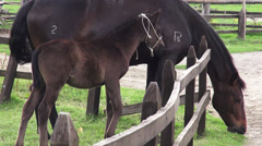 Horse Grazing, Horses, Farm Animals Stock Footage