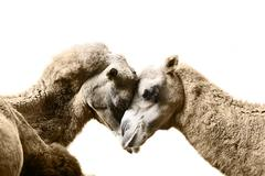 Camels resting Stock Photos