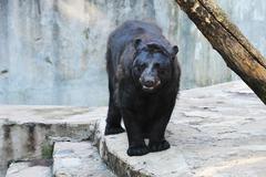 Musta karhu Kuvituskuvat