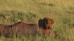 Lion with a kill of a hippo 4 Stock Footage