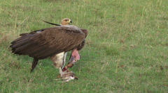Lappet faced vulture feeding while an eagle waits for his chance Stock Footage