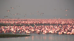 Lake nakuru, full of pink flamingos - stock footage