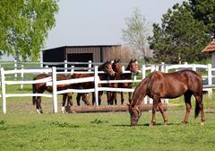 Stock Photo of horses in corral on ranch