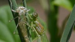 Coenagrion puella, damselfly, libellula,  odonata, zigoptera, Stock Footage