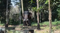 Big Elephant Stock Footage