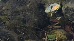 Coenagrion puella, damselfly,  odonata, zigoptera, Stock Footage