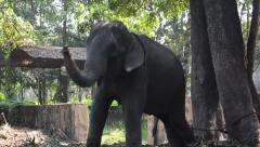 Elephant Playing and Eating Stock Footage