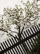 Apple trees clothed in blossoms Stock Photos