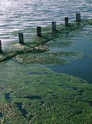Green algae growing on the water's surface Stock Photos