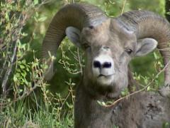Bighorn sheep (Ovis canadensis) ram eating buds from shrubs - on camera Stock Footage