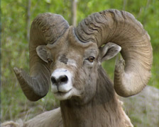 Bighorn sheep (Ovis canadensis) ram - on camera Stock Footage