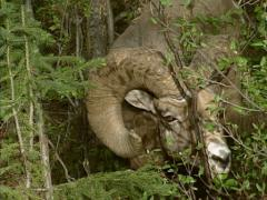 Bighorn sheep (Ovis canadensis) ram eating buds from shrubs - stock footage