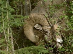 Paksusarvilammas (Ovis canadensis) ram syö silmuja pensaat Arkistovideo