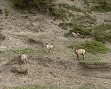 Bighorn sheep (Ovis canadensis) running on steep slope Stock Footage