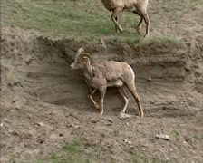 Bighorn sheep (Ovis canadensis) horn clashing on steep slope Stock Footage