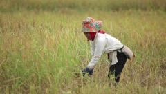 Farmer harvesting rice field Stock Footage