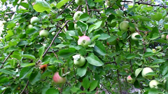 Apples hanging on a tree branch in the garden Stock Footage