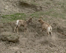 Bighorn sheep (Ovis canadensis) running, chasing on steep slope Stock Footage