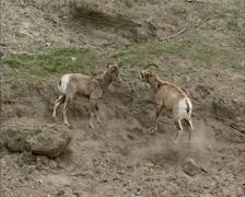 Paksusarvilammas (Ovis canadensis) käynnissä, jahtaa jyrkissä rinne Arkistovideo