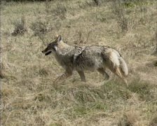 Coyote (canis latrans) trotting along prairie in early spring - tracking shot. Stock Footage