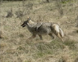 Stock Video Footage of Coyote (canis latrans) trotting along prairie in early spring - tracking shot.