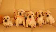 six labrador puppies - stock footage