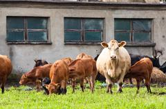 young and mature cows on dairy farm - stock photo